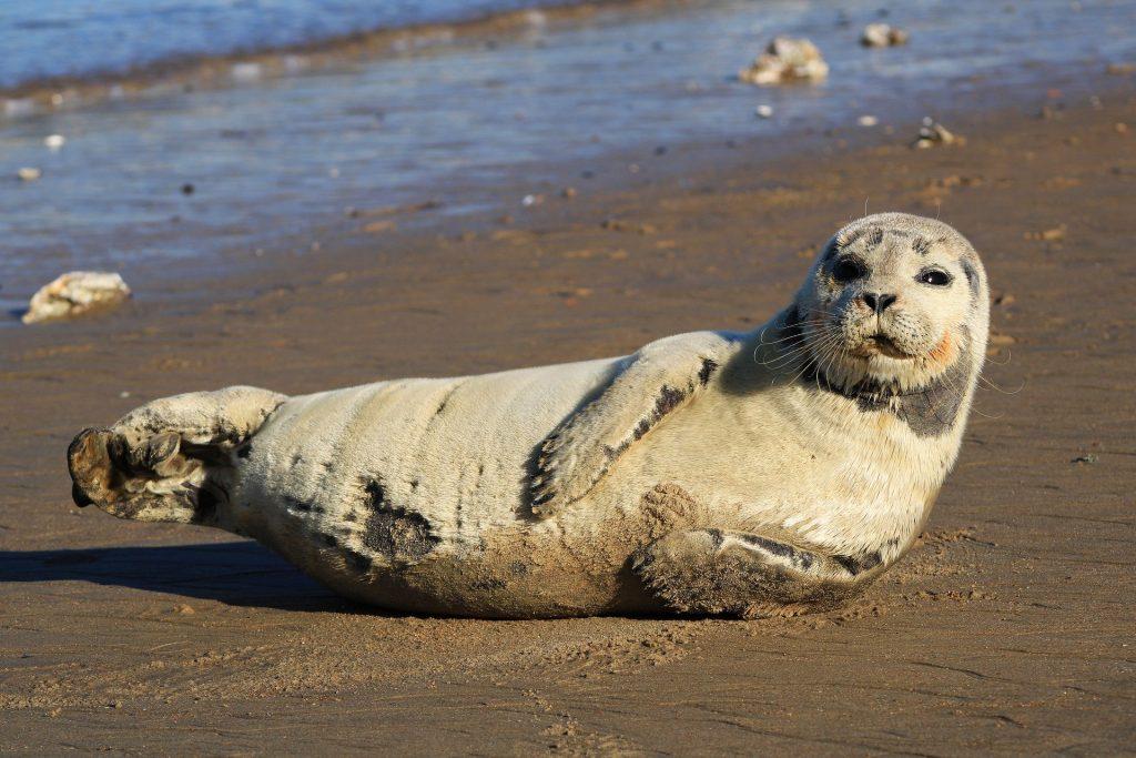 Foczka na plaży. FakeNews24.pl